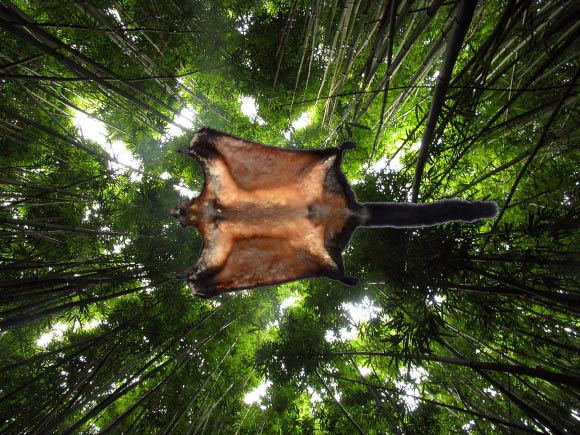 New Large Flying Squirrel found in Laos