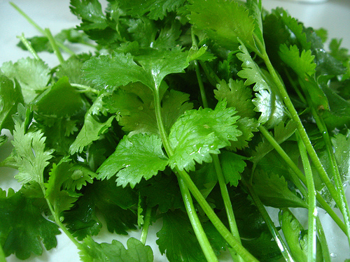Garden fresh cilantro by Qfamily, on Flickr