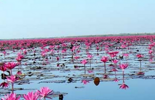 World's second strangest lake: Red Lotus Flowers, Thailand
