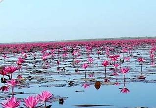 World's second strangest lake: Red Lotus Flowers, Thailand