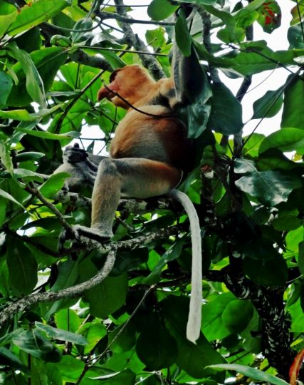A long-nosed proboscis monkey