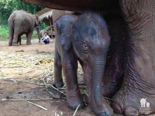 Patara farms Elephant: Baby Elephant