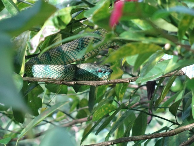 Malaysia Borneo, Snake