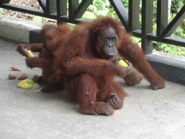 Orangutan Reserve in Malaysia Borneo Sarawak